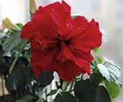 Гибискус красный махровый - китайская роза